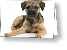 Border Terrier Puppy Greeting Card