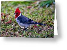 Brazillian Red-capped Cardinal Greeting Card