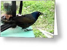 Brewers Black Bird  Greeting Card