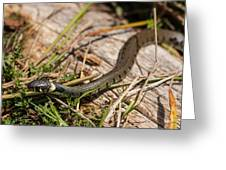British Grass Snake Greeting Card
