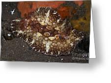 Brown And White Discodoris Nudibranch Greeting Card