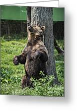 Brown Bear Itch Greeting Card