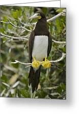 Brown Booby, Sula Leucogaster Greeting Card by Tim Laman