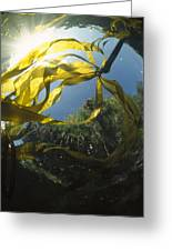 Bull Kelp Underwater Clayoquot Sound Greeting Card