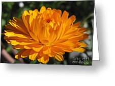 Calendula Named Bon-bon Orange Greeting Card