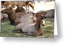 Calf Elk Greeting Card