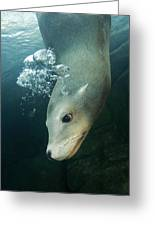 California Sea Lion Greeting Card by Alexis Rosenfeld