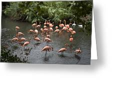 Caribbean Flamingos At The Zoo Greeting Card