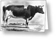 Cattle, 19th Century Greeting Card