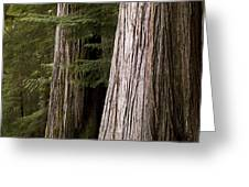 Cedar Trees, Whistler, British Columbia Greeting Card