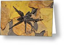 Chaetopelma Olivaceum Greeting Card