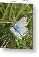 Chalkhill Blue Butterfly Greeting Card