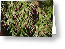 Chamecyparis Lawsoniana Greeting Card