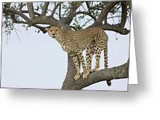 Cheetah Acinonyx Jubatus Female Greeting Card