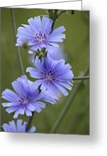 Chicory Greeting Card