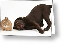Chocolate Lab & Netherland-cross Rabbit Greeting Card