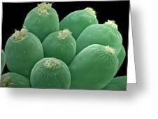 Ciliate Protozoans, Sem Greeting Card