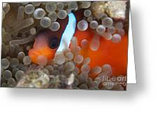 Cinnamon Clownfish In Its Host Anemone Greeting Card