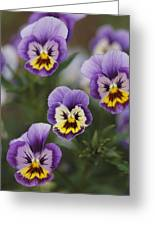 Close View Of Pansy Blossoms Greeting Card
