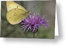 Clouded Yellow Butterfly Greeting Card