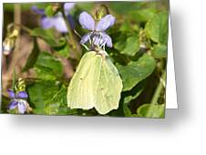 Common Brimstone  Greeting Card