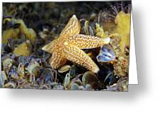 Common Starfish Feeding Greeting Card