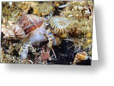 Common Whelk Greeting Card