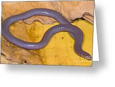 Congo Caecilian Greeting Card