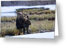 Cow Moose Greeting Card
