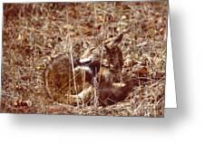 Coyote - American Prairie Wolf Greeting Card