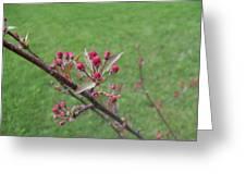 Crab Apple Tree Buds Greeting Card