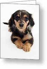 Dachshund Pup Greeting Card by Jane Burton
