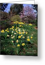 Daffodils (narcissus Sp.) Greeting Card