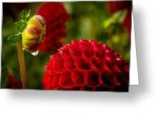 Dahlia Bud With Dew Greeting Card