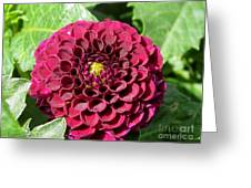 Dahlia Named Pride Of Place Greeting Card