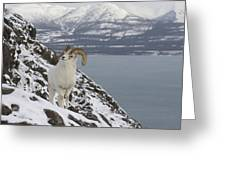 Dall Sheep Ovis Dalli Ram, Yukon Greeting Card
