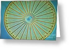 Diatom Alga, Arachnoidiscus Greeting Card