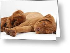 Dogue De Bordeaux And Cavalier King Greeting Card