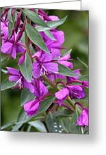Dwarf Fireweed Greeting Card