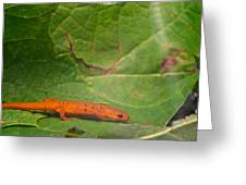Easterm Newt Nnotophthalmus Viridescens 15 Greeting Card