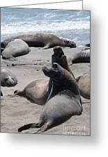 Elephant Seal Colony On Big Sur  Greeting Card