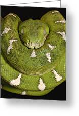 Emerald Tree Boa Corallus Caninus Greeting Card by Pete Oxford