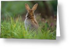 European Rabbit Oryctolagus Cuniculus Greeting Card