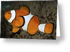 False Clownfish Greeting Card