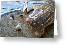 Fawn Looking Up Greeting Card