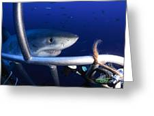 Female Great White Shark, Guadalupe Greeting Card