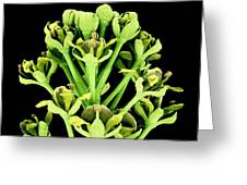 Field Pennycress Flowers Greeting Card