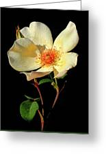 Five Petal Rose Greeting Card