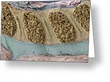 Foetal Spinal Column Greeting Card