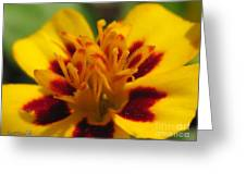 French Marigold Named Starfire Greeting Card